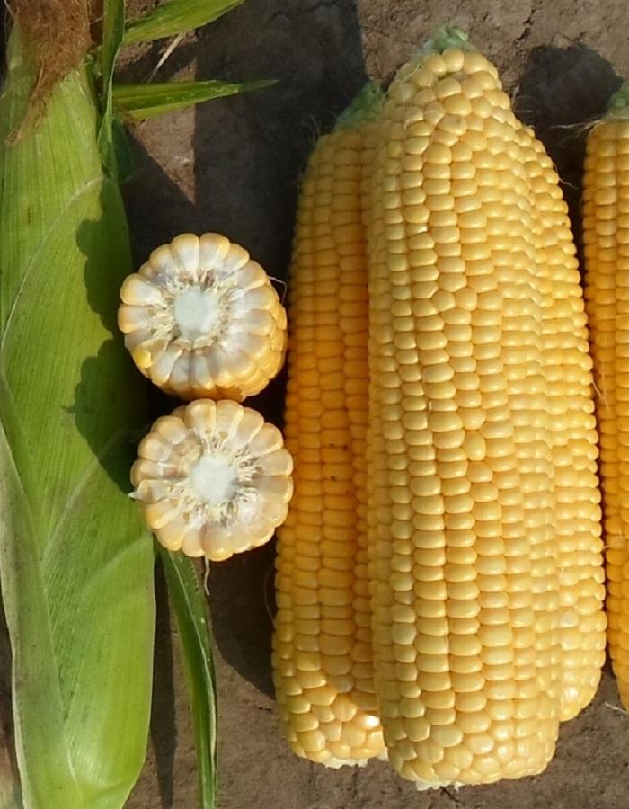 Кукуруза Золотой батам сахарная 5гр цв.п.