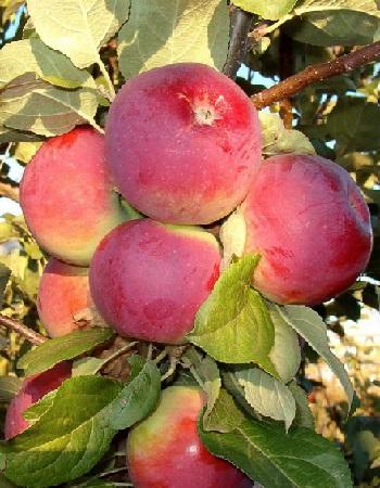 Яблоня Орлик 1 шт ОКС