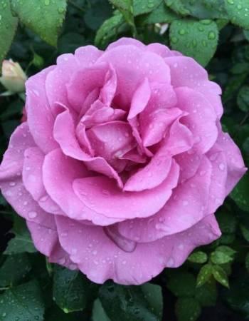 Роза чайно-гибридная Клод Броссер 1 шт ОКС фото