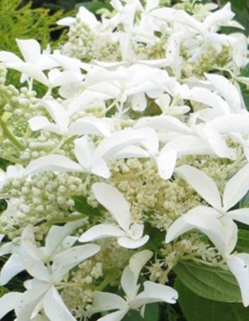Гортензия метельчатая Грейт стар (Hydrangea paniculata Great Star)1 шт ЗКС р9
