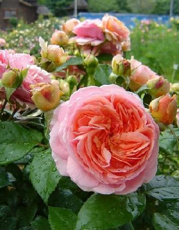 Роза парковая Чиппендейл 1 шт ОКС