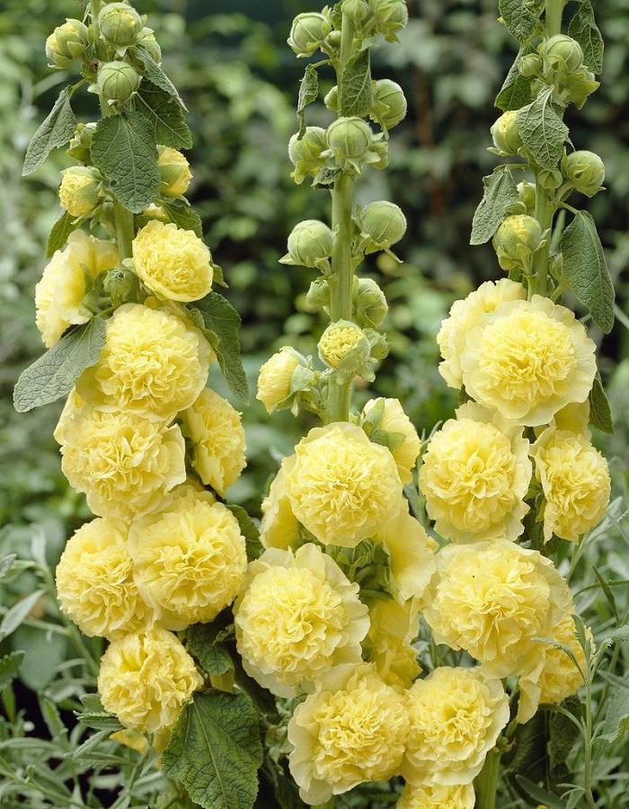 Мальва Желтая Королева  0,2 гр