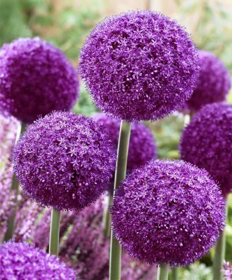 Лук гигантский Титан (Allium giganteum Regel) 1 уп. ( 1шт.) фракция 18/20