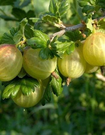 Крыжовник обыкновенный  Родник (Ribes uva-crispa) 1 шт ЗКС С2