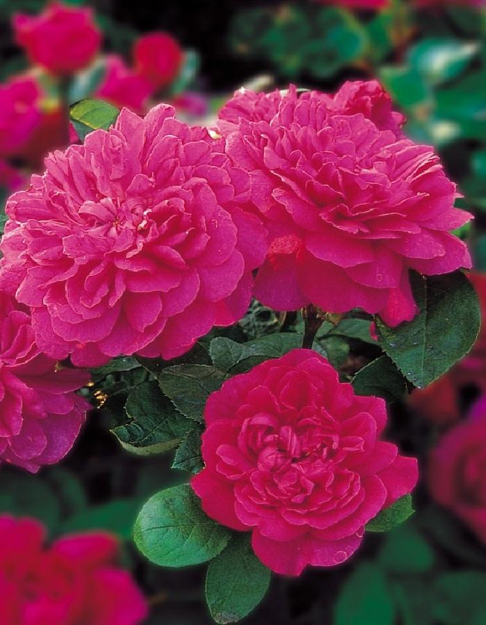 Роза кустовая Софи 1 шт. ОКС