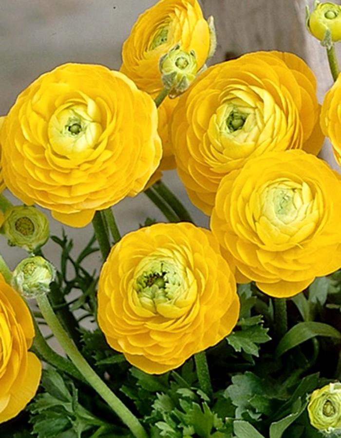 Ранункулюс Желтый 1 уп. (5 шт.)