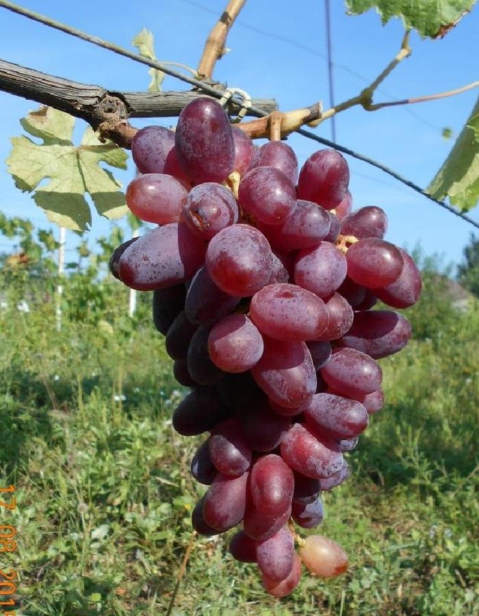 Виноград плодовый Эталон 1 шт ЗКС