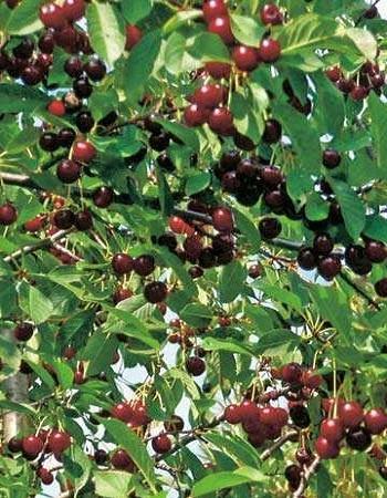 Вишня Радонеж  (Prunus cerasus)  1 шт ОКС