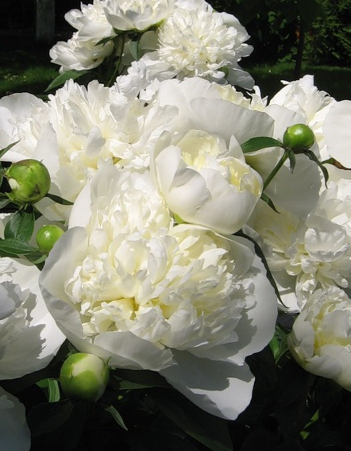 Пион травянистый Лаура Десерт 1 шт.