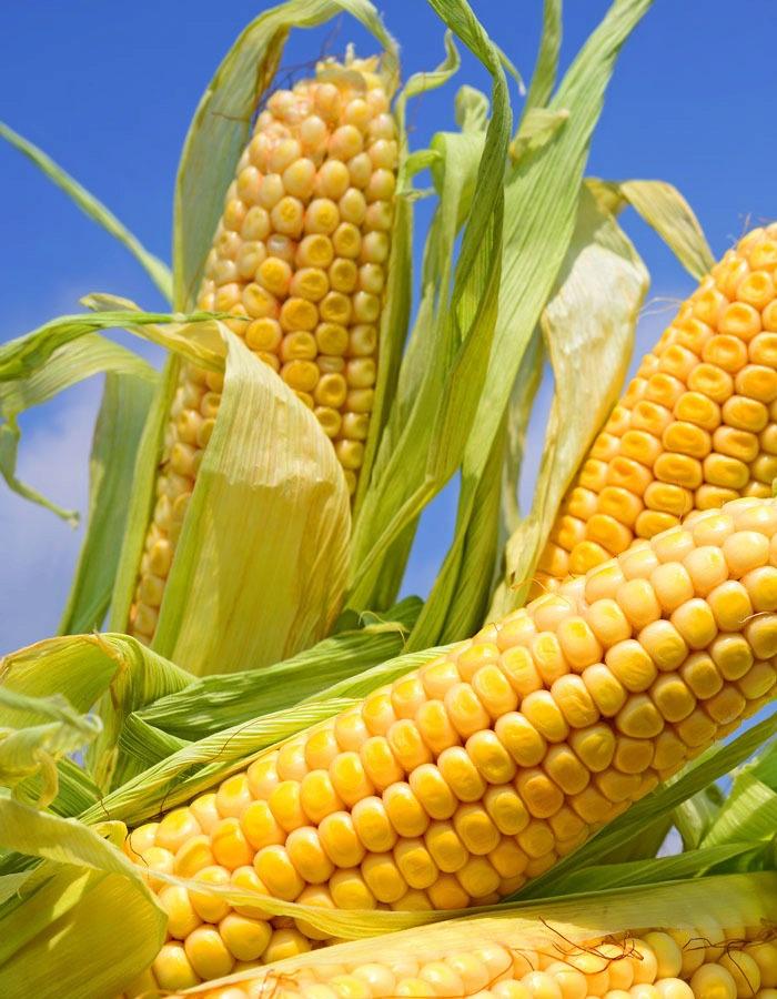 Кукуруза Кубанский сахарный 210  5гр б.п