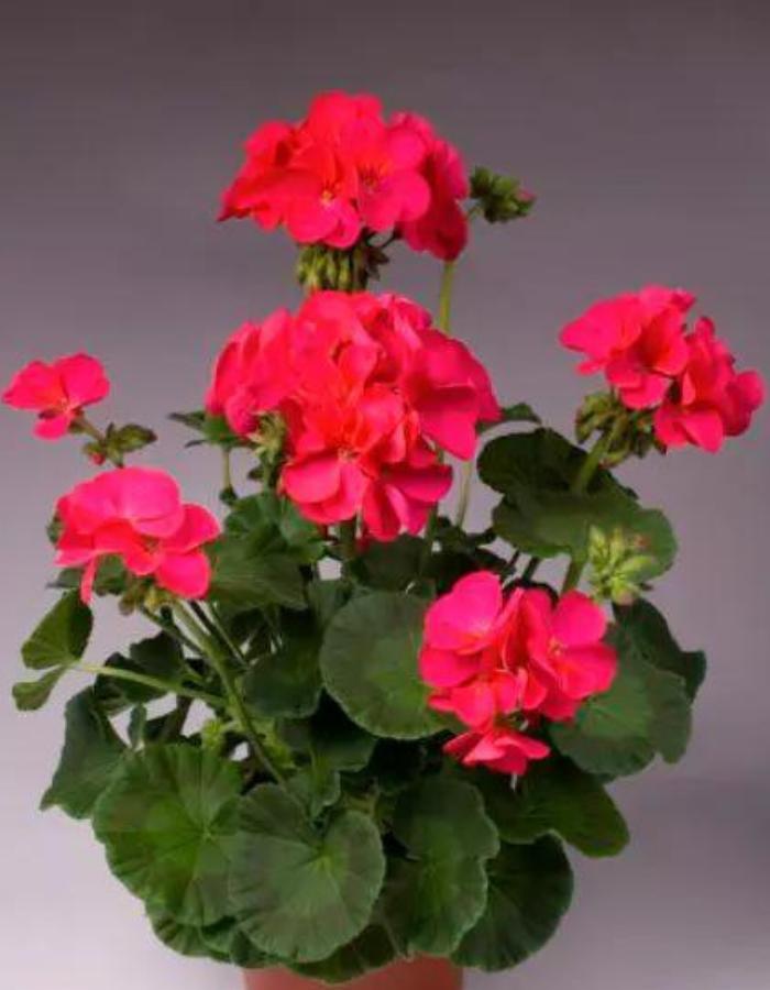 Пеларгония садовая Апачи F1 Светящаяся (Vita Green) 5 шт