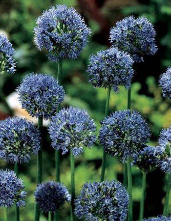Лук голубой Аквамарин (Allium caeruleum Pall.) 1 уп. ( 5шт.) фракция 4/5