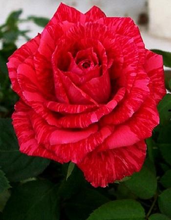 Роза чайно-гибридная Ред интуишен 1 шт ЗКС