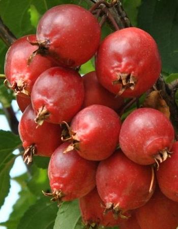 Яблоня Ред обелиск (колонновидная) 1 шт ОКС