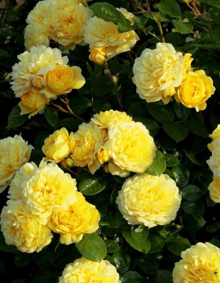 Роза флорибунда Ани Дюпрей 1 шт. ЗКС