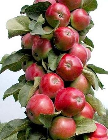 Яблоня Валюта ( колонновидная) 1 шт ОКС