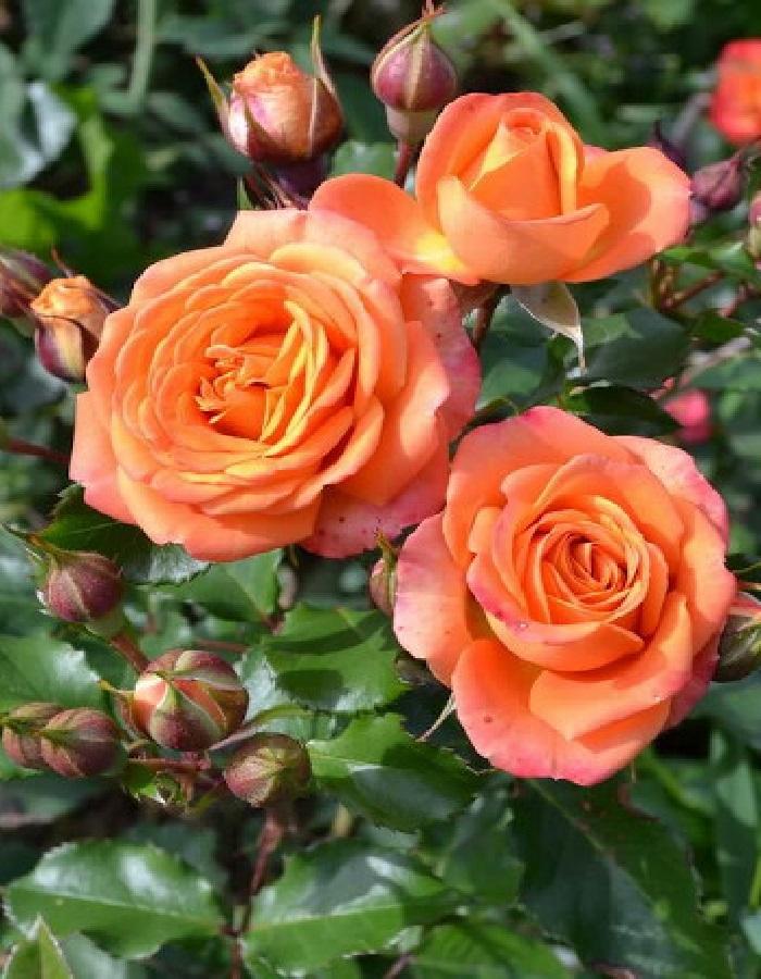 Роза спрей Бейб 1 шт. ОКС