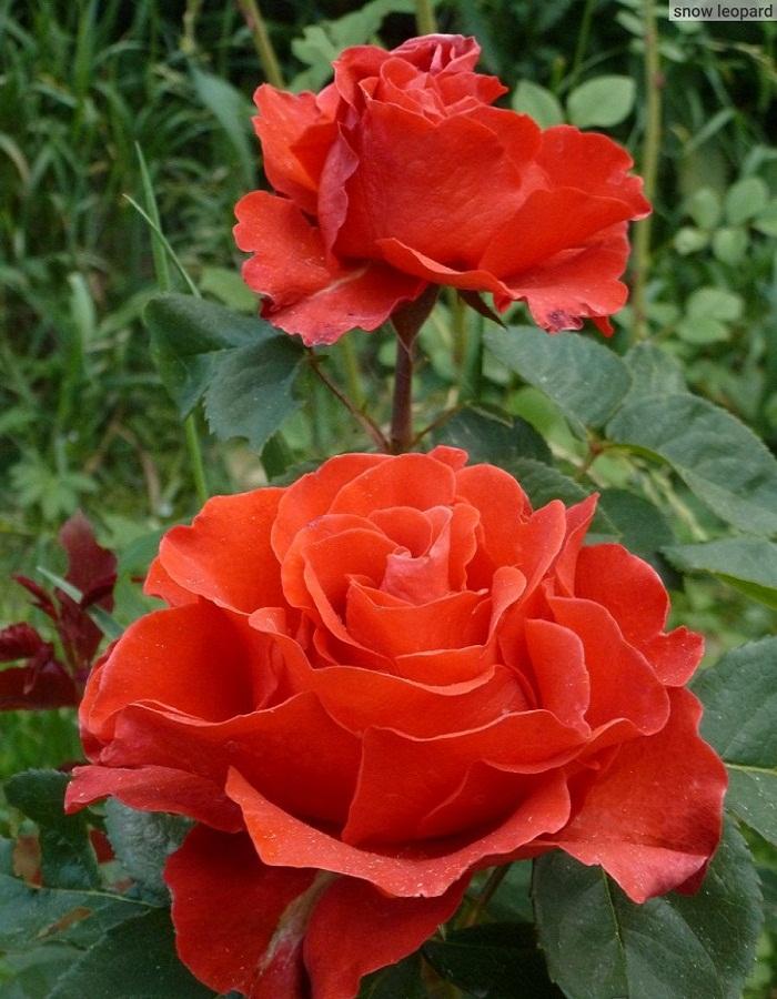 Роза чайно-гибридная Эльторо 1 шт ОКС