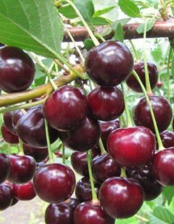 Вишня Харитоновская (Prunus cerasus) 1 шт ОКС