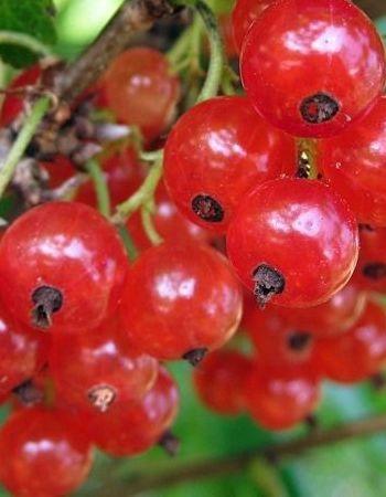 Смородина красная Ранняя сладкая (Ribes rubrum) 1 шт ЗКС с2