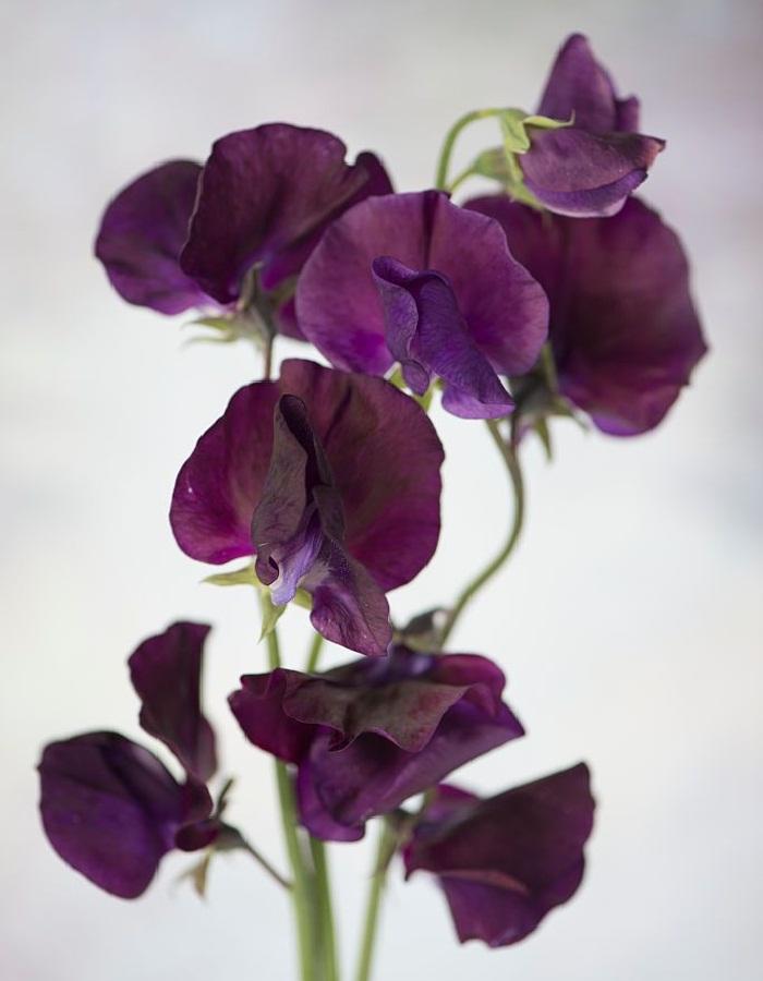 Душистый горошек Темно-пурпурный  0,5 гр