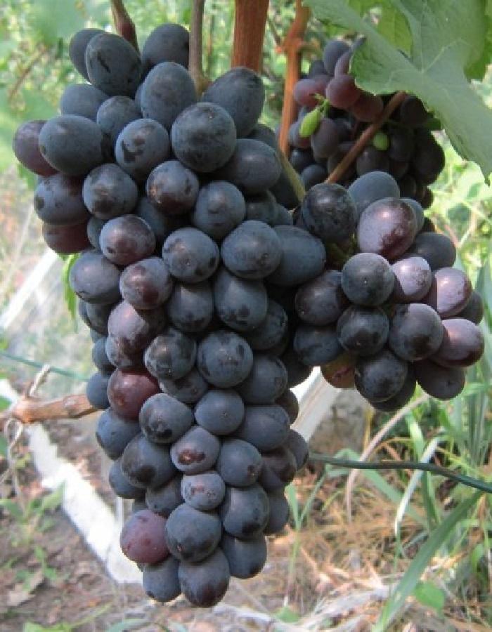 Виноград плодовый Гранатовый магарача 1 шт ЗКС