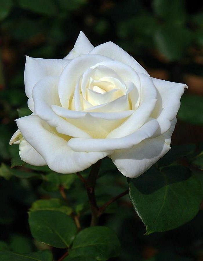 Роза чайно-гибридная Уайт Наоми 1 шт ОКС