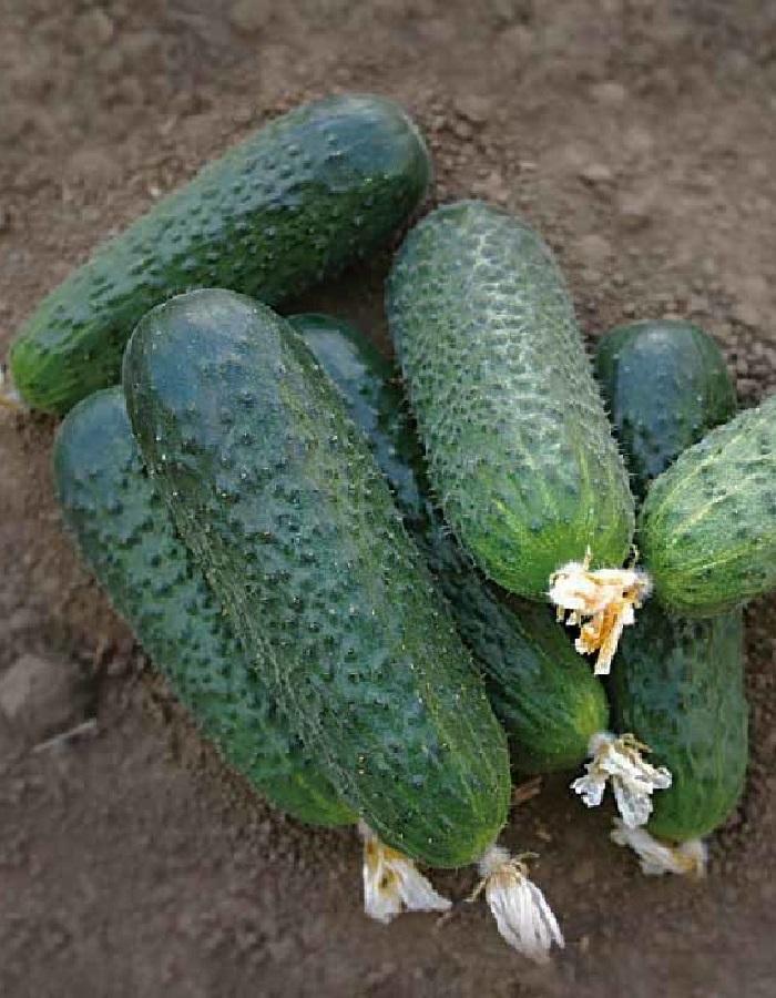 Огурец Беттина F1 (Vita Green) 7шт цв.п.