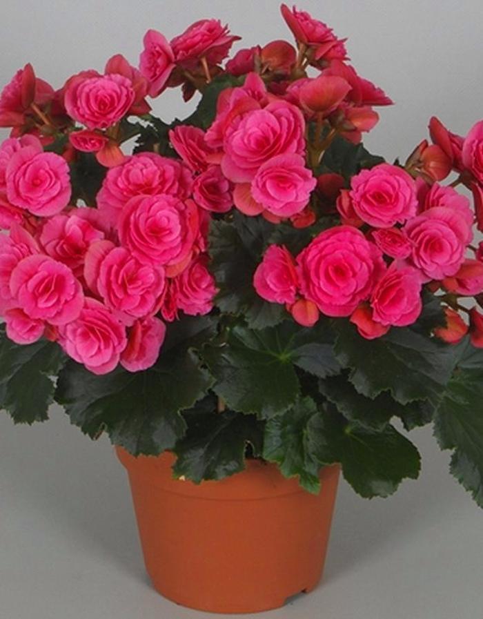 Бегония махровая Розовая 1 уп. ( 2 шт.)