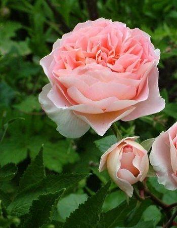 Роза кустарниковая Абрахам Дерби 1 шт ОКС