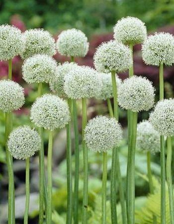 Лук виноградный Уайт Клауд (Allium ampeloprasum L.) 1 уп.  ( 5шт.) фракция 8/+