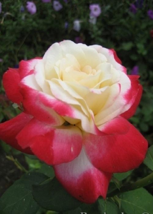 Роза чайно-гибридная Двойное удовольствие 1 шт ЗКС
