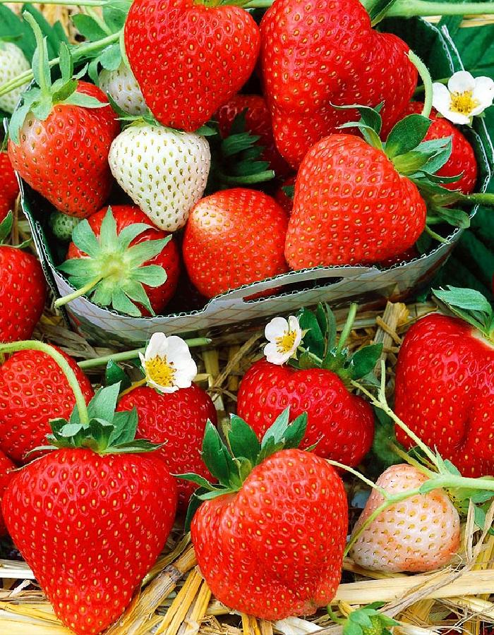 Земляника садовая Монтерей 1 шт.р9
