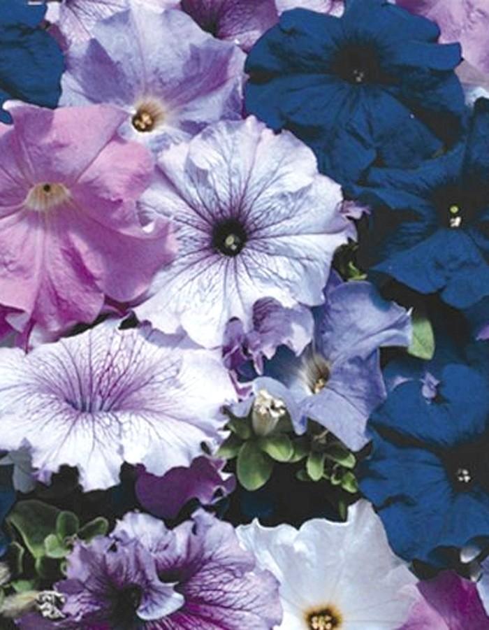 Петуния крупноцветковая Синие бабочки смесь 0,1 гр