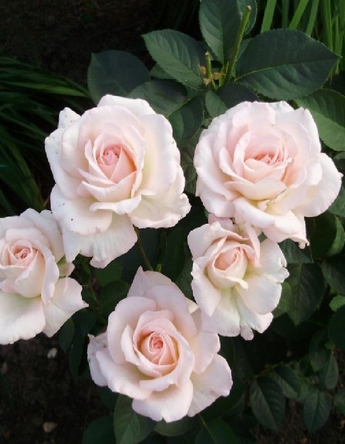 Роза чайно-гибридная Сады Богатель 1 шт. ОКС