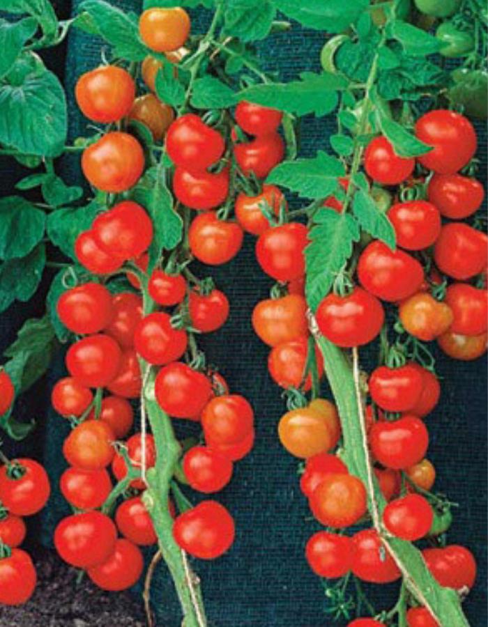 Томат 1000 и 2 помидорки (УД) 20 шт цв.п