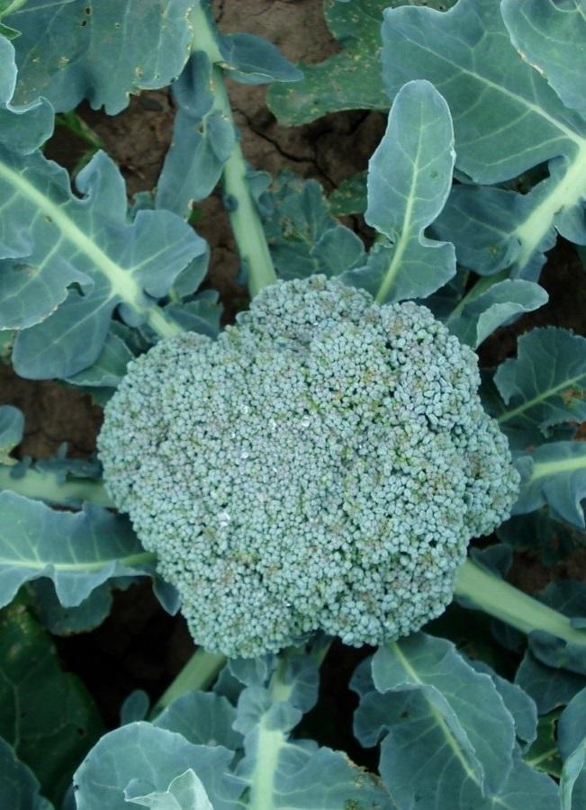 Капуста брокколи Линда  0,5  гр  цв.п.