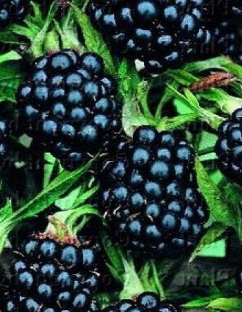 Ежевика Агавам(Rubus fruticosus) 1 шт ОКС