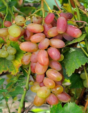 Виноград плодовый Юлиан 1 шт ЗКС р9