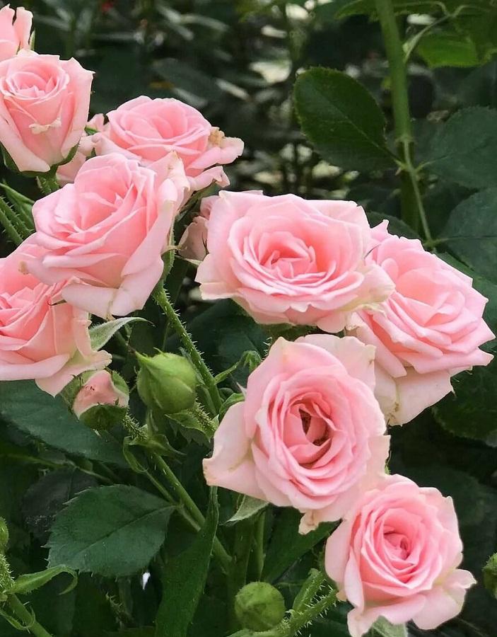 Роза спрей Лидия 1 шт ОКС