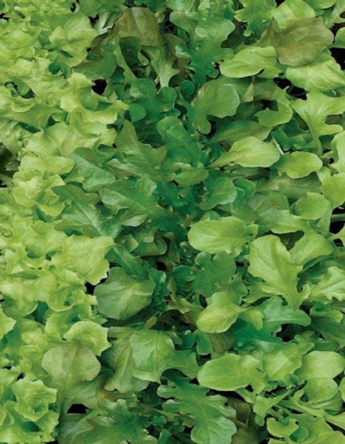 Салат Бейби Ливз зеленый (УД) 0,25 гр цв.п