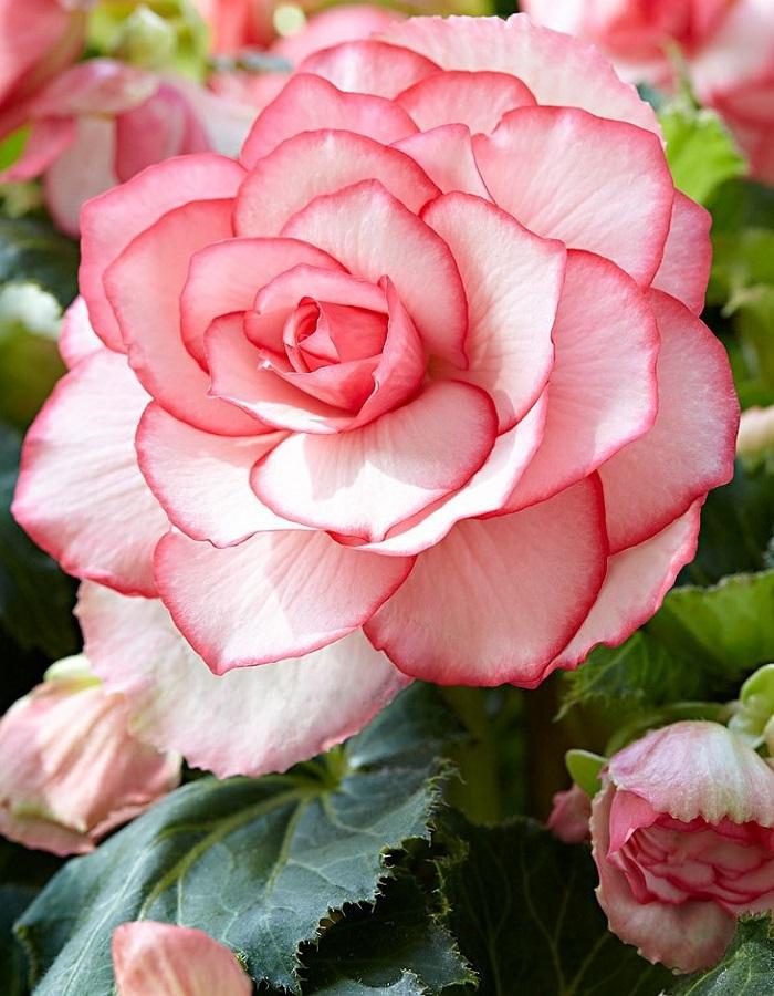 Бегония Бутон де роуз 1 уп. ( 2 шт.)