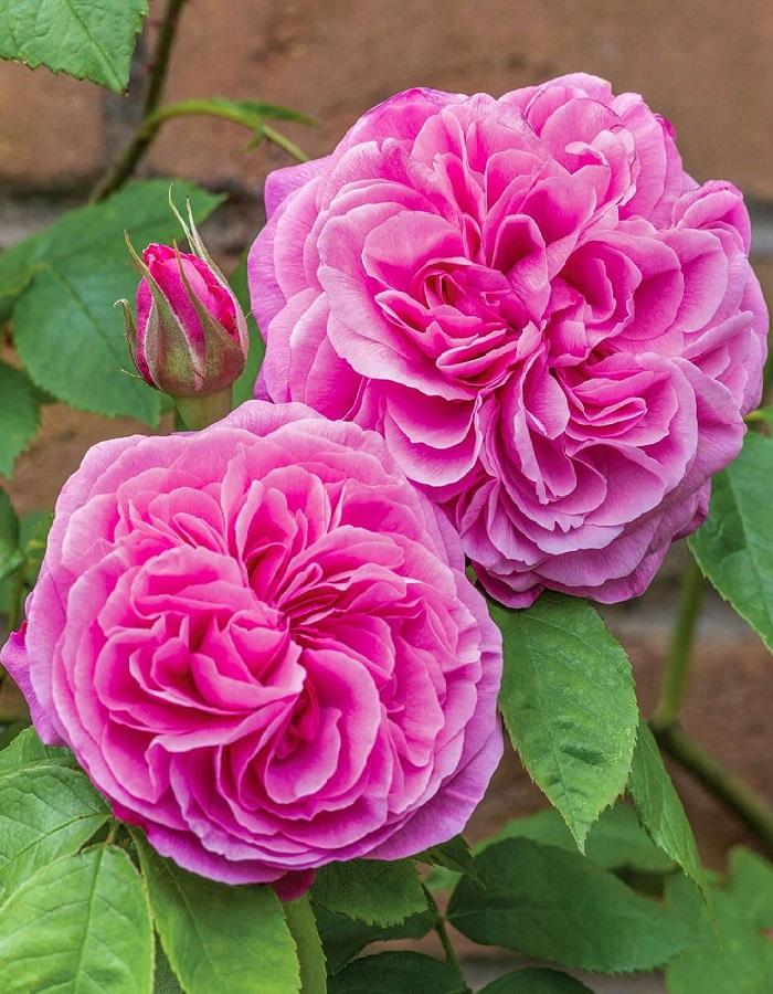 Роза английская Гертруда Джекил 1 шт. ОКС