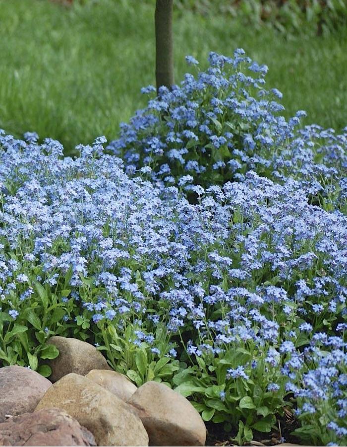 Незабудка Садовая голубая  0,05 гр