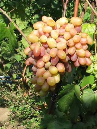 Виноград плодовый Виктор 1 шт ЗКС р9