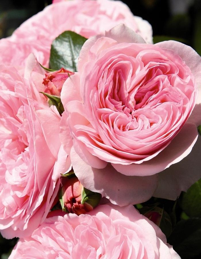 Роза английская Мария Терезия 1 шт ОКС