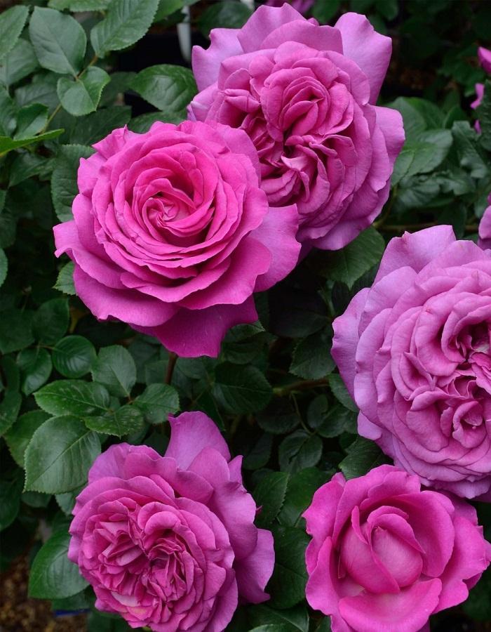 Роза чайно-гибридная Шартрез Де Парм 1 шт ЗКС