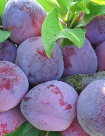 Слива китайская Орловская мечта (Prunus salicina) 1 шт ЗКС С3