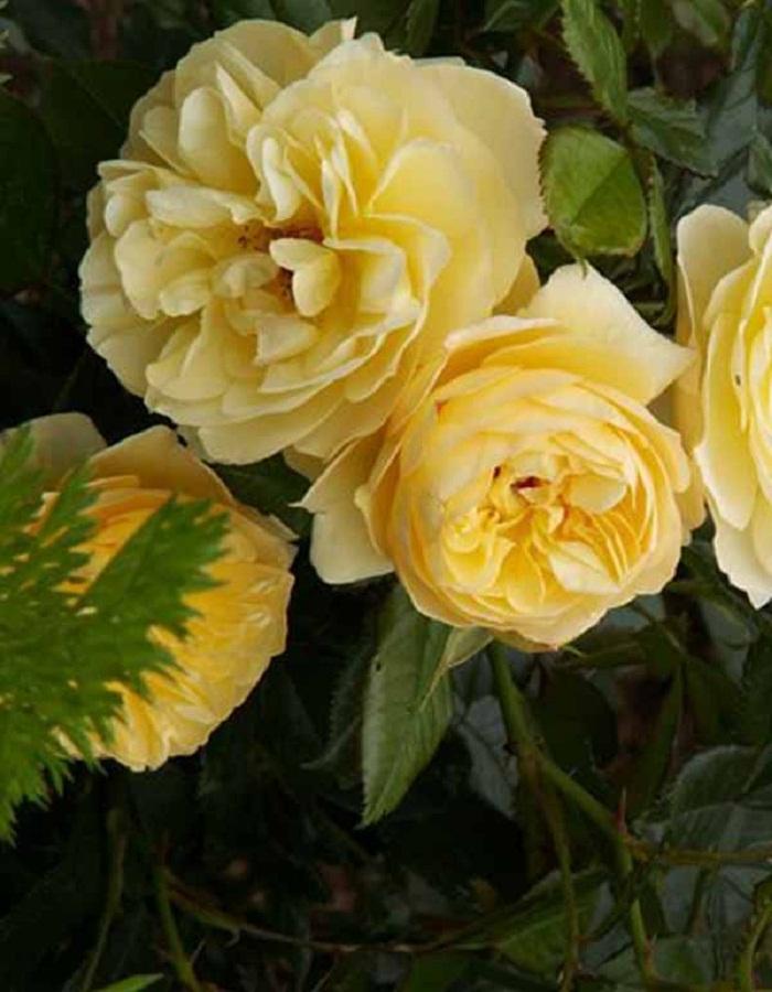 Роза почвопокровная Зоненширм 1 шт ЗКС