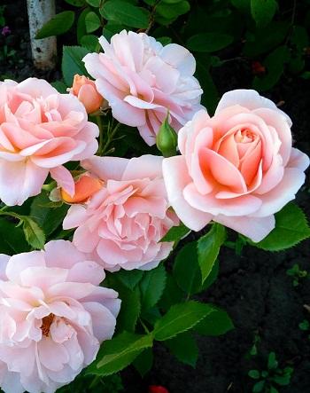 Роза чайно-гибридная Гейша 1 шт ЗКС с2 фото
